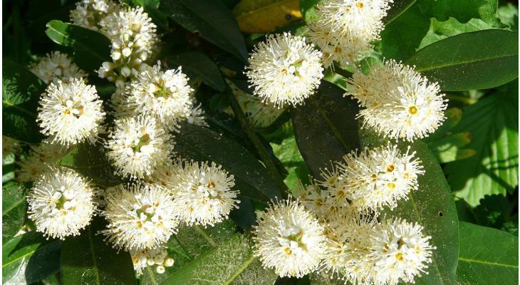 Prunus-soorten geschikte haagplanten