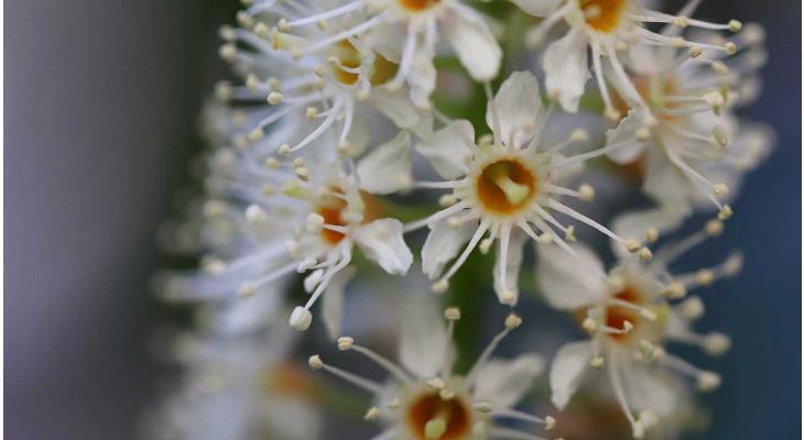 Laurierkers: de mooiste omlijsting van een grote tuin