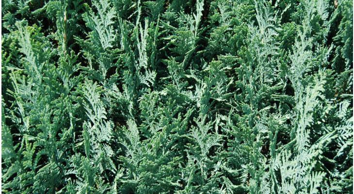 Cipressen haag