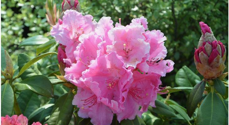 Haagplant Rhododendron