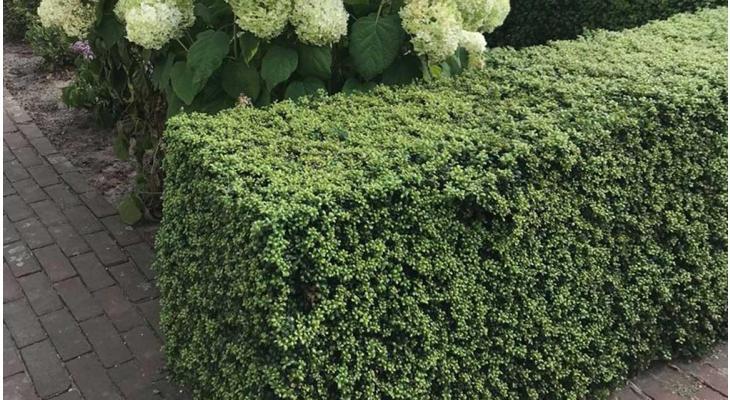 haagplanten lage hagen