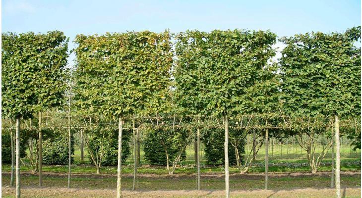 Welke soorten leibomen zijn er