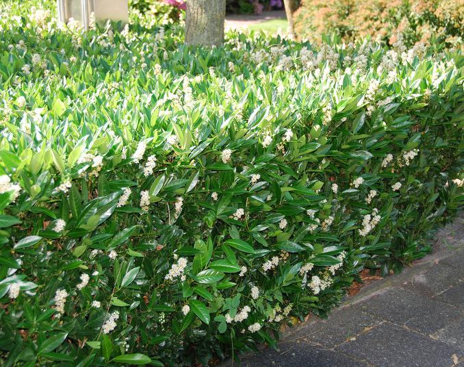Prunus lauroceracus otto luyken laurier 39 otto luyken 39 for Pflanzen evergreen