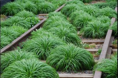Japanse zegge 'Evergreen'