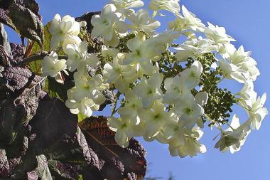 Eikenblad Hortensia