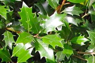 Schijnhulst 'heterophyllus'