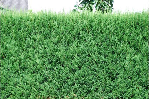 Leylandii conifeer