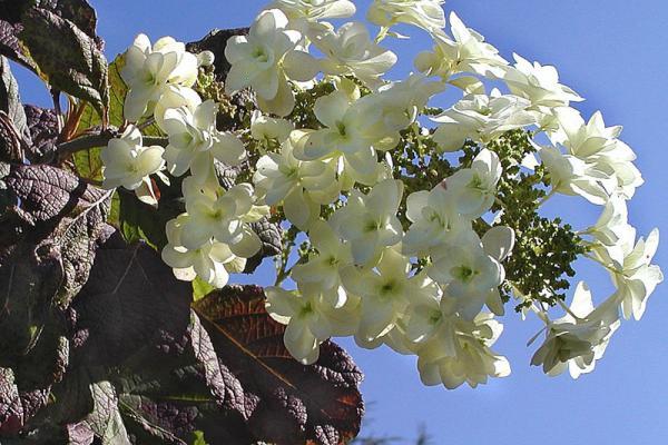 Hydrangea quercifolia eikenblad hortensia for Ortensia quercifolia