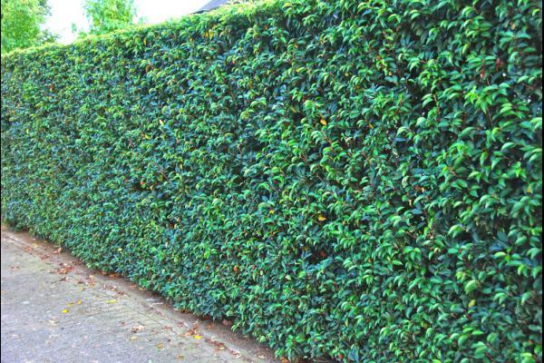 Prunus lusitanica angustifolia portugese laurier