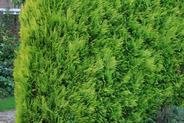 Gele Californische cipres