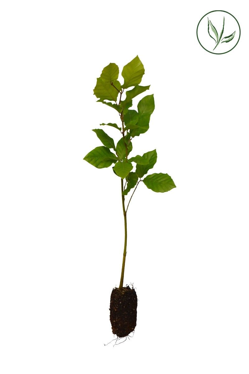 Groene beuk Plugplanten 30-50 cm Extra kwaliteit
