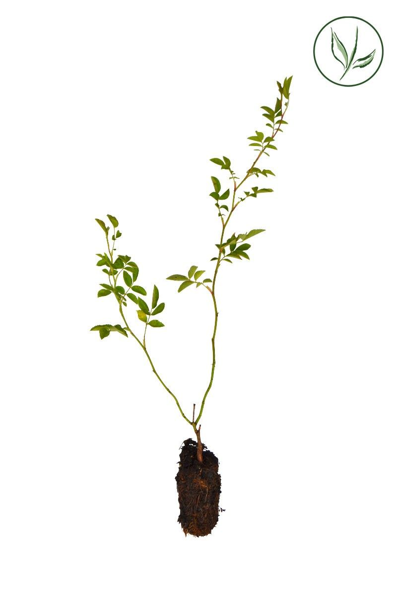 Hondsroos Plugplanten 15-30 cm Extra kwaliteit