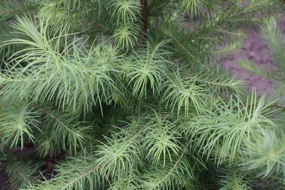 Japanse lariks