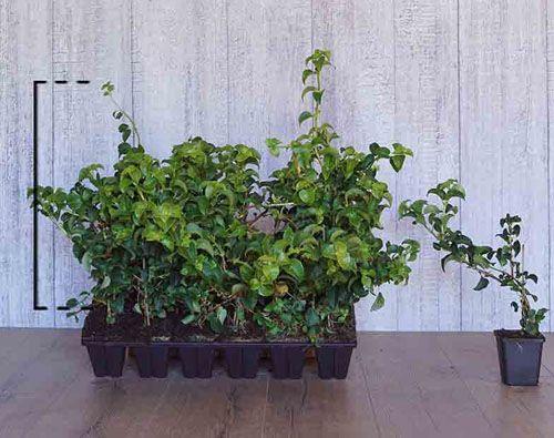 Klimhortensia Pot P9 Tray