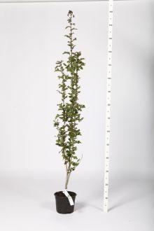 Meidoornhaag Pot 100-120 cm
