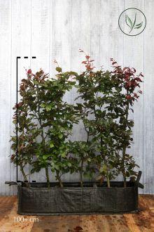 Rode beuk Kant-en-klaar Hagen 100-125 cm Kant-en-klaar Hagen