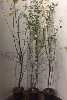 Meidoornhaag Pot 150-175 cm