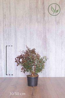 Rode Zuurbes Pot 30-50 cm