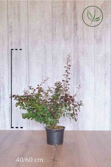 Rode Zuurbes Pot 40-60 cm