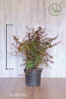 Rode Zuurbes Pot 60-80 cm