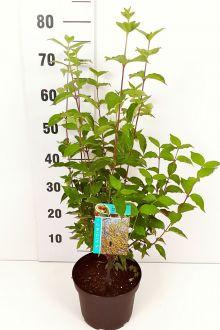 Gele Kornoelje Pot 40-60 cm