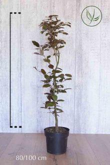 Rode beuk Pot 80-100 cm Extra kwaliteit