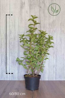 Weigela 'Bristol Ruby'  Pot 60-80 cm