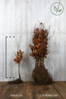 Rode beuk Blote wortel 40-60 cm