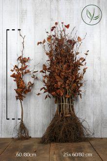 Rode beuk Blote wortel 60-80 cm