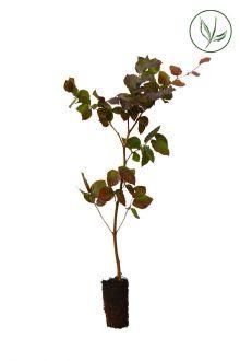 Rode beuk Plugplanten 30-50 cm Extra kwaliteit