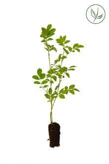 Japanse bottelroos Plugplanten 20-40 cm Extra kwaliteit