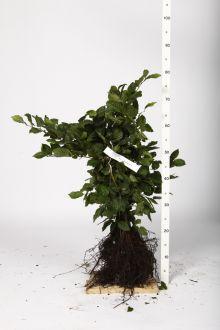 Haagbeuk Blote wortel 40-60 cm