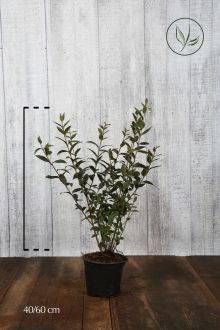 Gewone Liguster   Pot 40-60 cm
