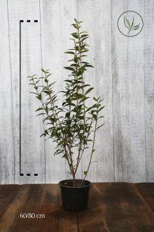 Gewone Liguster   Pot 60-80 cm