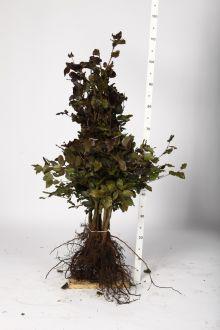 Rode beuk Blote wortel 80-100 cm