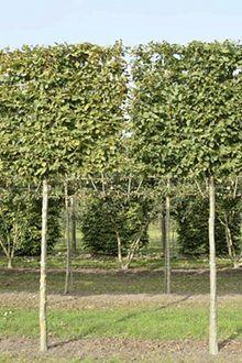 Haagbeuk kluit 360cm - 20-25 cm