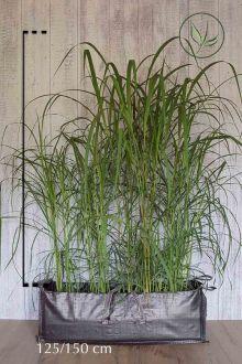 Chinees reuzenriet kant-en-klaar-hagen 125-150 cm