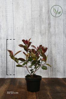 Glansmispel 'Red Robin' Pot 30-50 cm