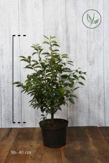 Portugese Laurier Pot 30-40 cm