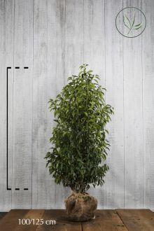 Portugese Laurier Kluit 100-125 cm
