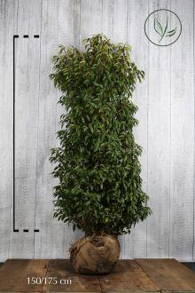 Portugese Laurier Kluit 150-175 cm Extra kwaliteit