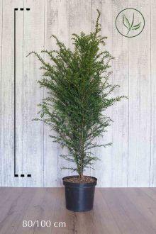 Taxus baccata Pot 80-100 cm