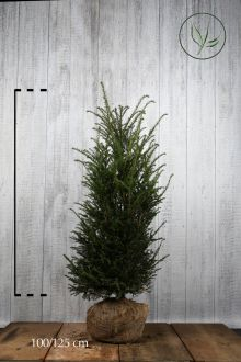 Taxus baccata Kluit 100-120 cm Extra kwaliteit