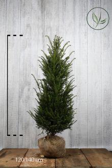 Taxus baccata Kluit 120-140 cm Extra kwaliteit
