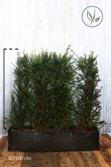 Taxus baccata Kant-en-klaar Hagen 80-100 cm Kant-en-klaar Hagen