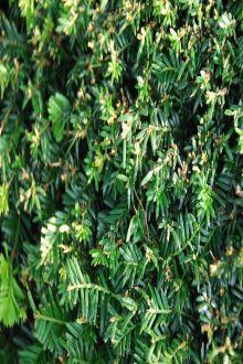 Taxus baccata Kant-en-klaar Hagen 120 cm Kant-en-klaar Hagen