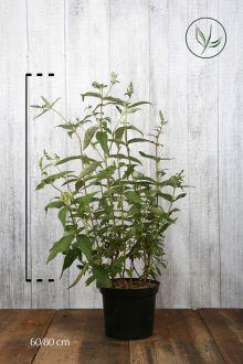Vlinderstruik 'Empire Blue'  Pot 60-80 cm