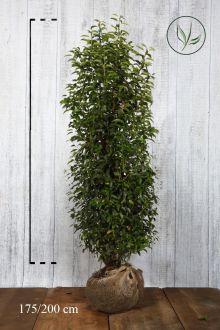 Portugese Laurier Kluit 175-200 cm Extra kwaliteit