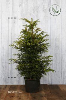 Taxus baccata Pot 100-125 cm