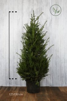 Taxus baccata Pot 125-150 cm